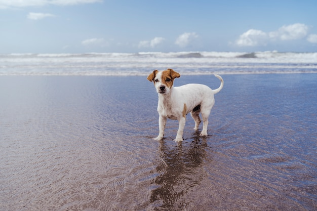 Vista superior del pequeño lindo jack russell terrier perro en la playa mirando a la cámara.