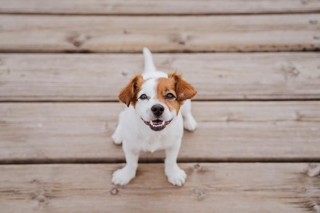 Vista superior del pequeño y lindo perro jack russell terrier sentado en un puente de madera al aire libre y estilo de vida