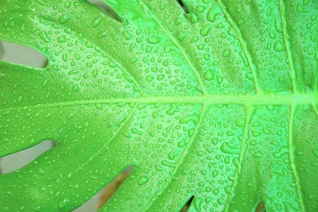 Vista superior de philodendron monstera con gotas de lluvia