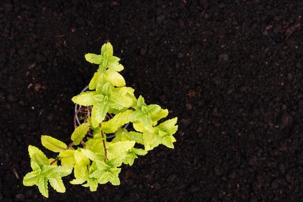 Vista superior planta de menta en el suelo