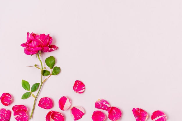 Vista superior rosa roja con pétalos sobre la mesa