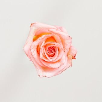 Vista superior de una rosa