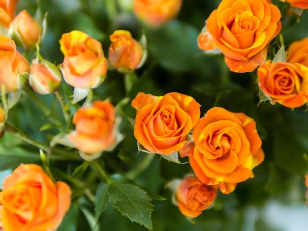Vista superior de rosas naranjas en jardín