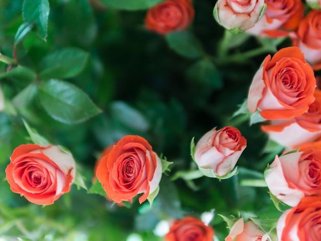 Vista superior de rosas rojas en el jardín