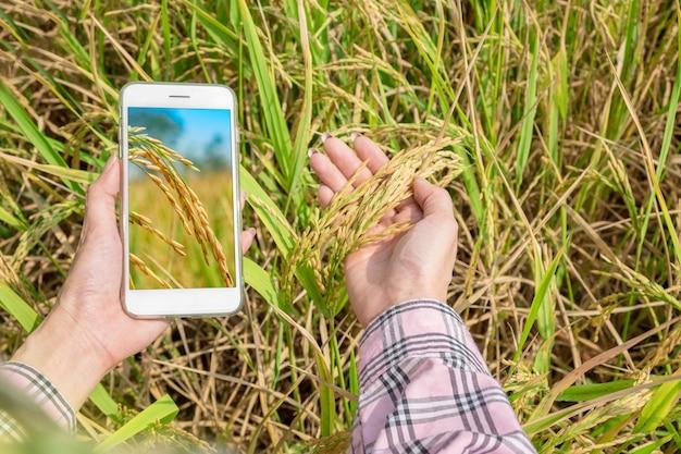 Vista superior de un teléfono inteligente en la mano con arroz de arrozal en manos de un granjero