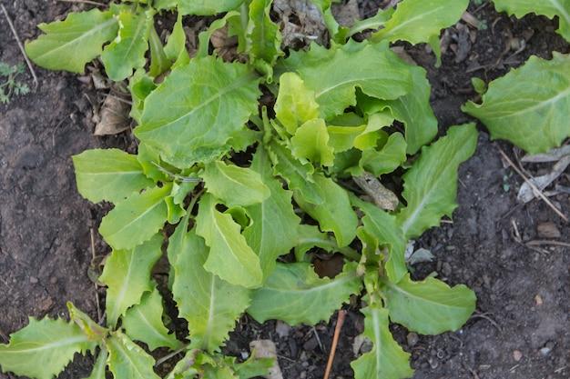 Vista superior de la variedad de hojas de lechuga plantadas en el huerto orgánico
