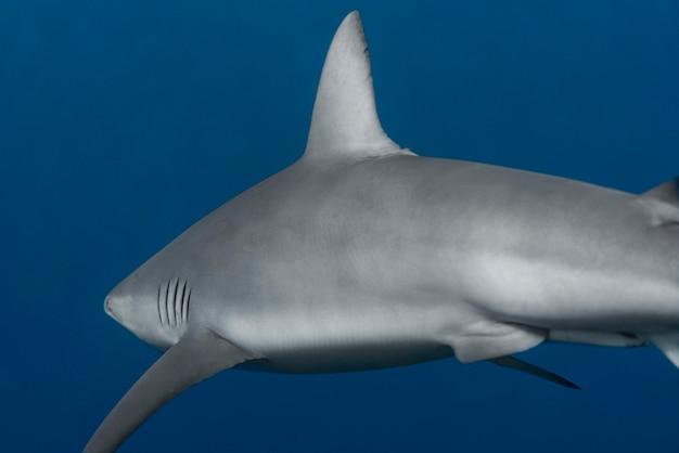 Vista de un tiburón nadando bajo el agua