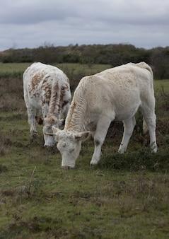 Vista vertical de dos vacas comiendo hierba en el pasto
