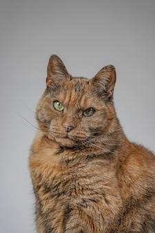 Vista vertical de un gato gruñón naranja