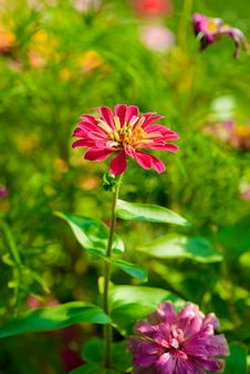 Vivo de cerca la flor de zinnia