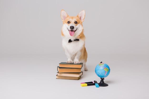 Welsh corgi pembroke con libros y un tablero de dibujo vacío, concepto de escuela