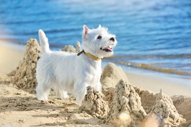 West highland dog jugando con castillos de arena