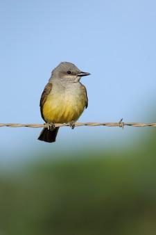 Western kingbird en valla de alambre de púas vertical