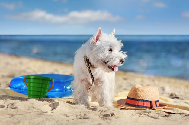 Westie perro caminando en la playa amigable para perros
