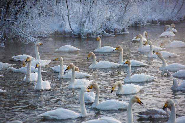 Whooper cisnes nadando en el lago