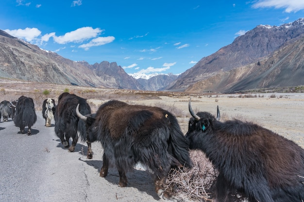 Yacs salvajes caminando por el camino camino al paisaje de montaña en leh, india.