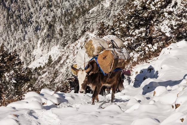 Yak caminando por el bosque nevado