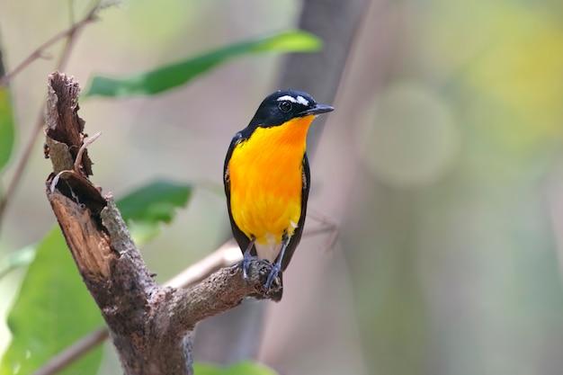 Yellow-rumped flycatcher ficedula zanthopygia hermosas aves macho de tailandia