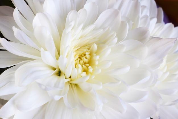 Yema de crisantemo blanco