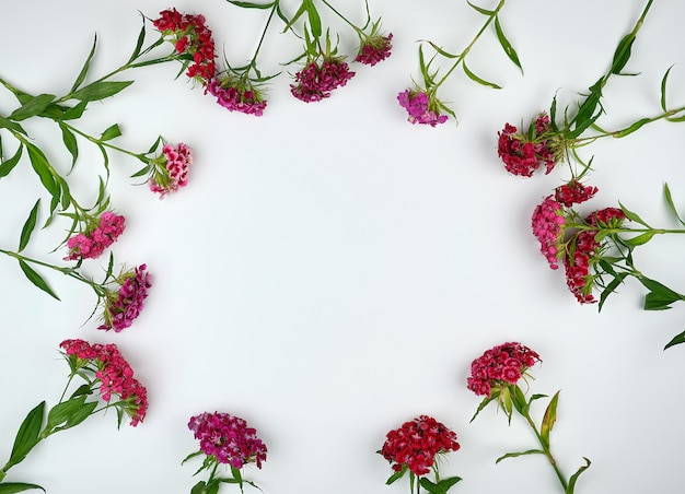 Yemas florecientes claveles turcos dianthus barbatus