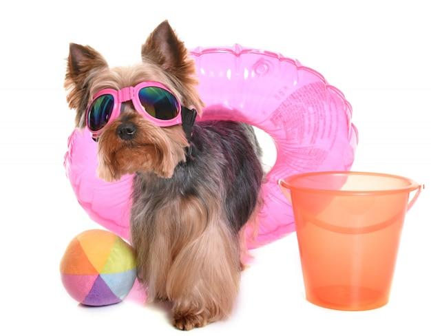 Yorkshire terrier en vacaciones
