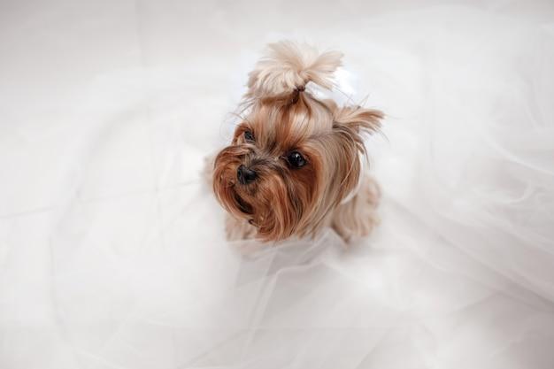 Yorkshire terrier en vestido blanco. lindo perro vestido para la novia de la boda sentado en un blanco