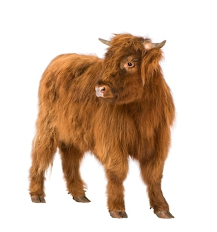 Young highland cow en un blanco aislado