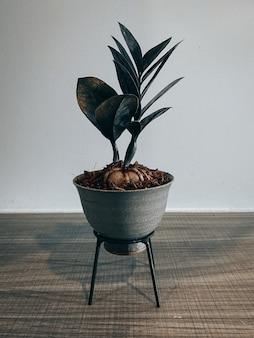 Zamioculcas zamiifolia en maceta pequeña