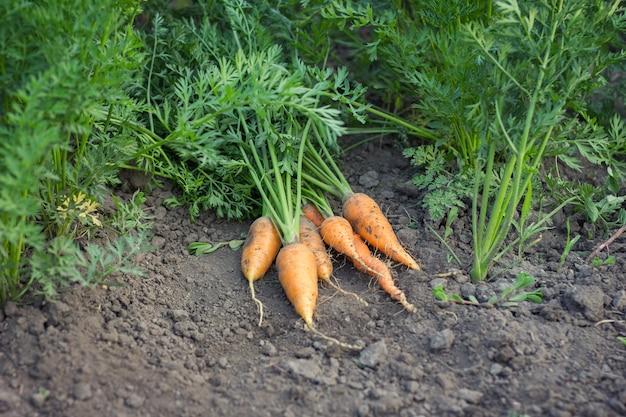 Zanahorias cosechadas, zanahorias de cosecha de otoño