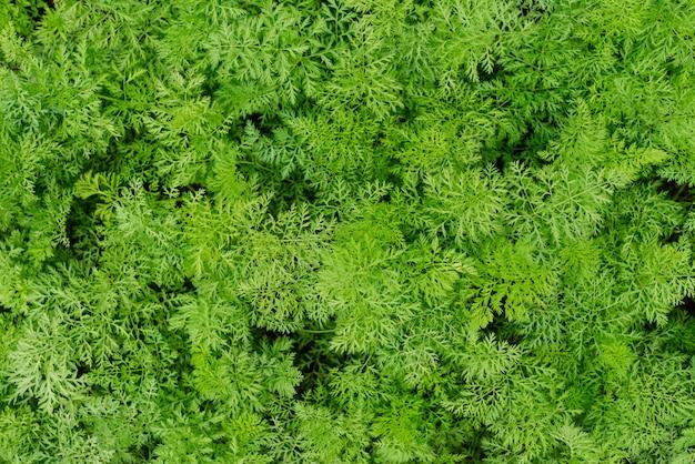 Zanahorias jóvenes que crecen en huerto ecológico