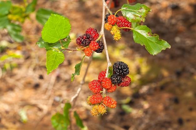 Zarzamora madura, maduración y frutas verdes inmaduras en el árbol