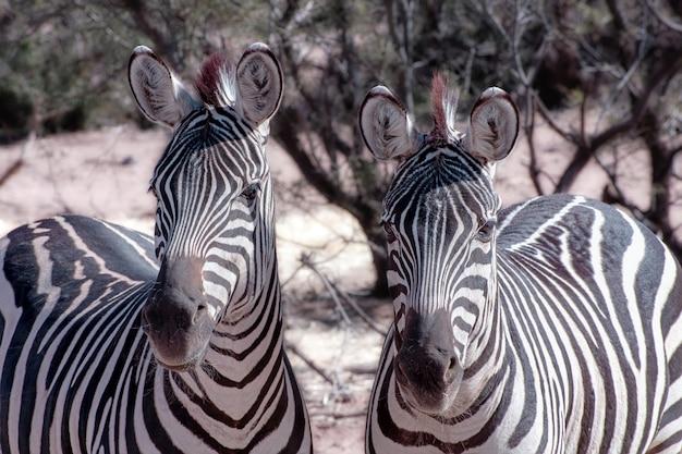 Zebra duo en alerta