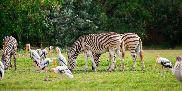 Zebra O Cebra Yahoo Cebra Perfil | ...