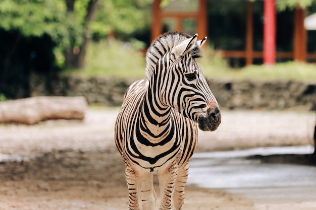 Zebra mirando a otro lado en un parque zoológico