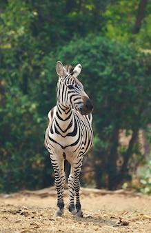 Zebra parado solo
