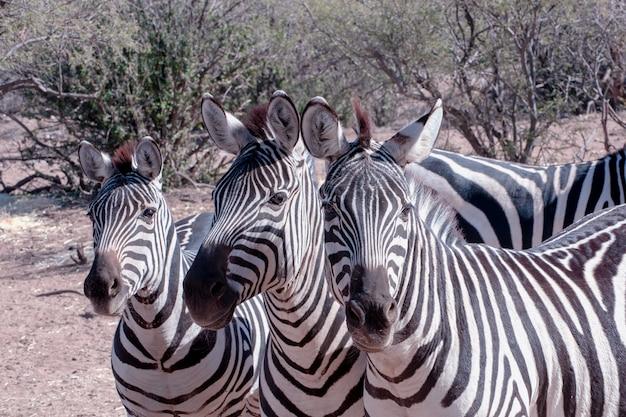 Zebra trio en el pincel
