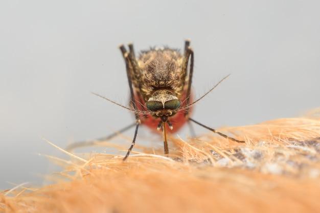 Zica virus aedes aegypti mosquito en la piel del perro - dengue, chikungunya, mayaro fever