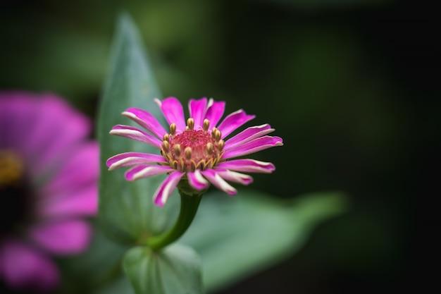 Zinnia común rosa (zinnia elegans) en el jardín con espacio para poner texto, discreto