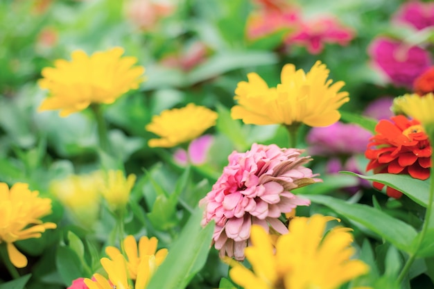 Zinnia flor con colores.