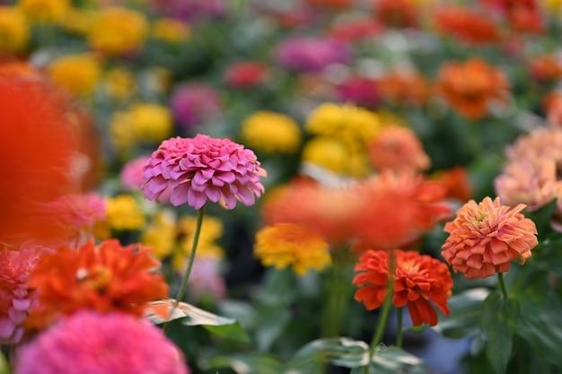 Zinnia flor o zinnia violacea plantas de la tribu de girasol dentro de la familia de la margarita.