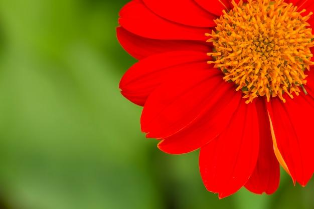 Zinnia roja en el jardín.