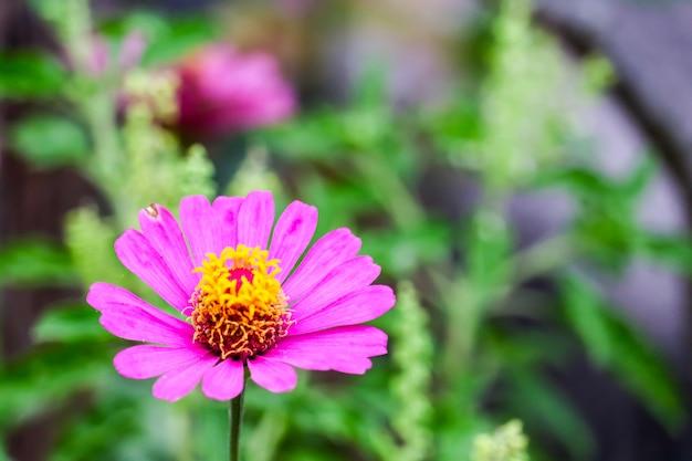 Zinnias color magenta floración y desenfoque hojas de fondo