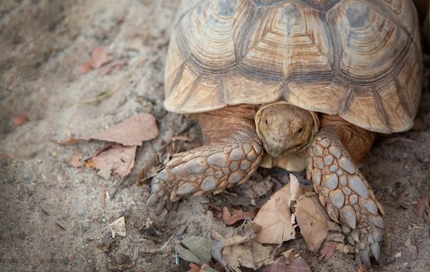 Zoología de tortuga marrón gigante en jaula de arena al aire libre