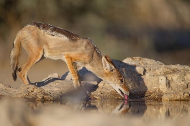 Zorro de arena de espalda negra bebiendo agua de un pequeño estanque junto a las rocas