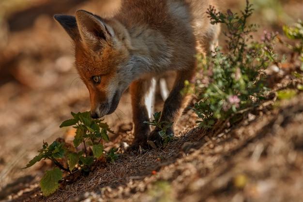 Zorro rojo vulpes vulpes en bosque europeo