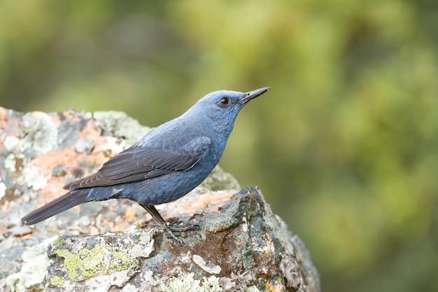 Zorzal azul de pie sobre una roca