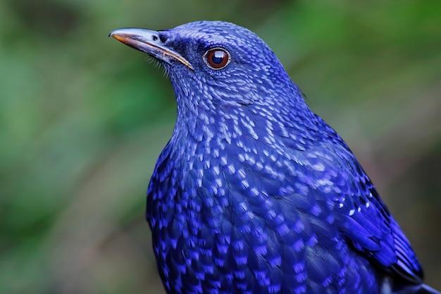 Zorzal que silba azul myophonus caeruleus pájaros hermosos de tailandia
