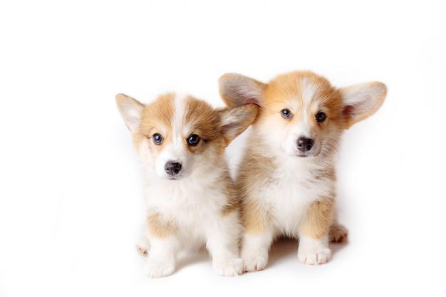 2 cuccioli di pembroke welsh corgi seduti