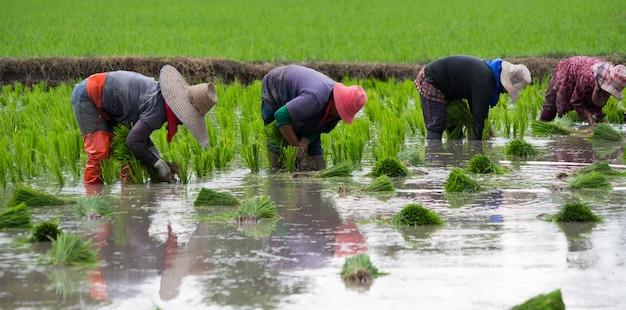4 agricoltori stanno piantando riso, trapiantando piantine di riso