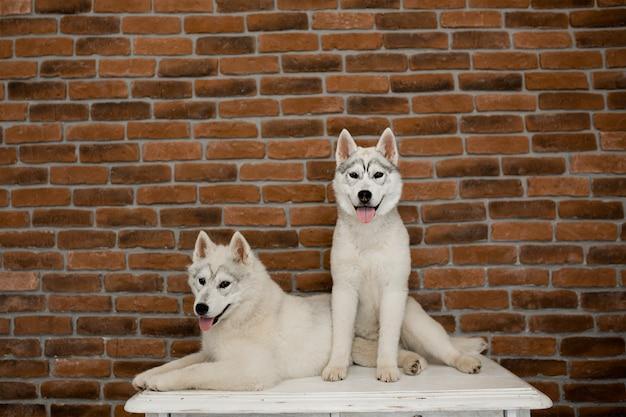 A casa siedono due cuccioli di husky siberiano seduti e giocano. stile di vita con il cane
